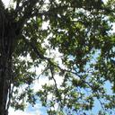 Jagua_Tree